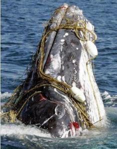 tangled whale